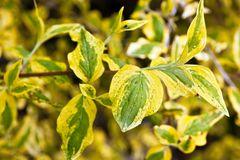 Kornelkirsche 'Aurea Elegantissima'