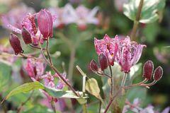 Krötenlilie 'Purple Beauty'