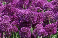 Kugel-Lauch 'Purple Sensation'