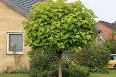 Kugel-Trompetenbaum 'Nana'