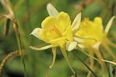 Langspornige Akelei 'Yellow Queen'