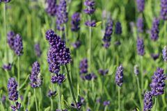 Lavendel 'Ellagance Purple'