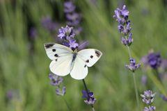 Lavendel 'Munstead Strain'