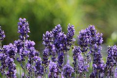 Lavendel 'Phenomenal' / 'Niko'