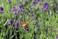 Lavendel 'Siesta'