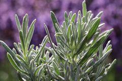 Lavendel 'Silver Mist'