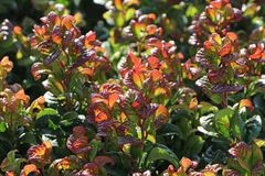 Lavendelheide 'Curly Red' ®