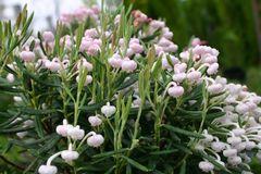 Lavendelheide 'Nikko'