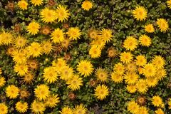 Lesotho Mittagsblume