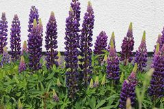 Lupine 'Camelot Blue' ®