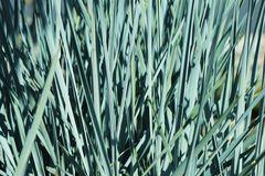 Magellan-Gras / Magellan-Weizengras / Blaugras