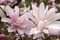 Magnolie 'Chrysanthemumiflora'