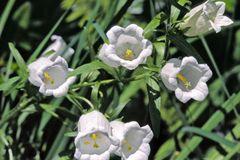 Marien-Glockenblume (weiß)