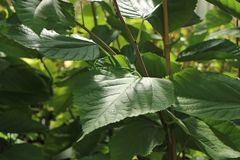 Maulbeere 'Illinois Everbearing'