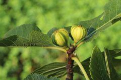 Melonen-Feige 'Panaché'