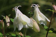 Miniatur-Akelei 'Cameo Weiß'