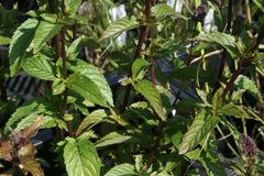 Minze 'Black Spearmint'
