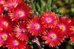 Mittagsblume 'Jewel of Desert Garnet'