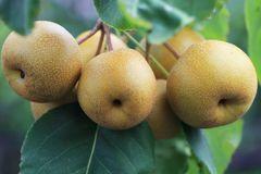 Nashi / Asienbirne / Asiatische Apfelbirne 'Benita' ®