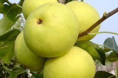 Nashi / Asienbirne / Asiatische Apfelbirne 'Naddel Pear'