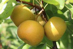 Nashi / Asienbirne / Asiatische Apfelbirne 'Nijiseiki'