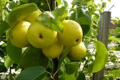 Nashi / Asienbirne / Asiatische Apfelbirne 'Shinseiki'