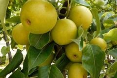 Nashi / Asienbirne / Asiatische Apfelbirne 'Tama'