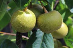 Nashi-Birne / Asienbirne / Asiatische Apfelbirne 'Mischiraz'