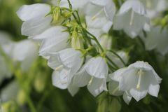 Niedliche Glockenblume 'White Baby'