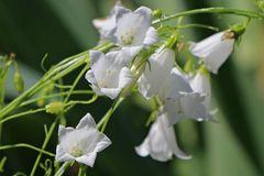 Niedrige Glockenblume 'Bavaria White'