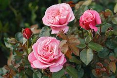 Nostalgie®-Edelrose 'Wildberry' ®