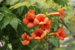 Orangerote Trompetenblume 'Mme Galen'