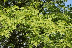 Orientalischer Amberbaum