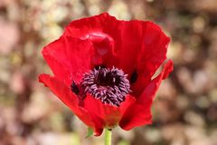 Orientalischer Mohn 'Beauty of Livermere'