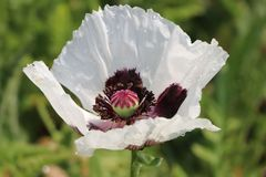 Orientalischer Mohn 'Royal Wedding'