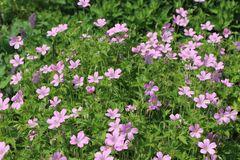 Oxford Garten Storchschnabel 'Rose Clair'