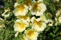 Chinesische Gold-Rose