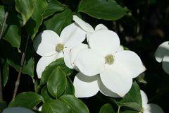 Pazifischer Blüten-Hartriegel