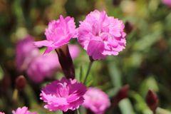 Pfingst-Nelke 'Pink Jewel'