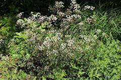 Purpur-Wiesen-Kerbel 'Ravenswing'