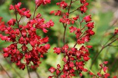 Purpurglöckchen 'Ruby Bells'