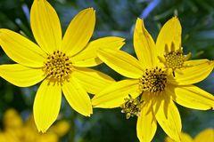 Quirlblättriges Mädchenauge 'Grandiflora'