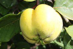 Quitte 'Konstantinopeler Apfelquitte'