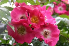 Ramblerrose 'American Pillar'
