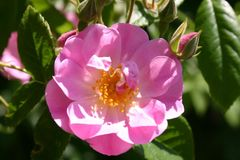 Ramblerrose 'Apple Blossom'