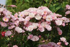 Ramblerrose 'Bonny' ®