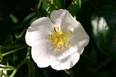Ramblerrose 'Filipes Kiftsgate'