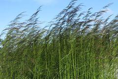 Rasen-Schmiele 'Goldtau'