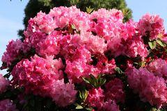 Rhododendron 'Anastasia' ®