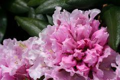 Rhododendron 'Annika'